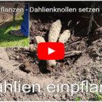 Videos zu Dahlien