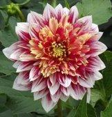 """Anemonenblütige Dahlie """" Garden Show """" - 1"""