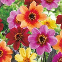 Happy Single Dahlien Mischung - Mix mit Blüten in verschiedenen Farben - Knollengröße 1 - 5 Knollen in der Packung - Kölle's Beste - 1
