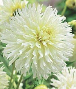 Hirschgeweih Dahlie großblumig Ice Crystal Knolle Blumenzwiebel (1) - 1