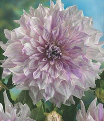 Schmuck Dahlie großblumig Mom's Special Knolle Blumenzwiebeln (1) - 1