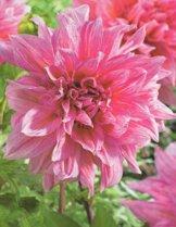 Schmuck Dahlie großblumig Striped Emory Paul Knolle Blumenzwiebeln (1) - 1
