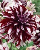 Schmuck Dahlie großblumig Tartan Knolle Blumenzwiebeln (3) - 1