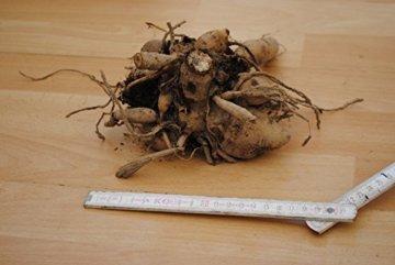 Sommerblüher Annemohnblütige Dahlie 'Freyas Paso Doble', 1 Dahlien-Knolle Größe ca. 16 cm, Blütengröße ca. 5-10 cm, Blütenfarbe dieser Dahlia ist weiß-gelb - 2