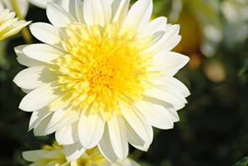 Sommerblüher Annemohnblütige Dahlie 'Freyas Paso Doble', 1 Dahlien-Knolle Größe ca. 16 cm, Blütengröße ca. 5-10 cm, Blütenfarbe dieser Dahlia ist weiß-gelb - 1