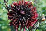 Sommerblüher Semikaktusdahlie 'Black Jack', 1 Dahlien-Knolle Größe ca. 16 cm, Blütengröße ca. 20-25cm, Blütenfarbe dieser Dahlia ist schwarzrot - 1