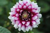Sommerblüher Semikaktusdahlie 'Siedlerfreunde', 1 Dahlien-Knolle Größe ca. 16 cm, Blütengröße ca. 10-15cm, Blütenfarbe dieser Dahlia ist weinrot, weiße Spitzen - 1