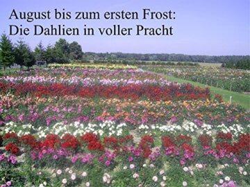 Sommerblüher Semikaktusdahlie 'Siedlerfreunde', 1 Dahlien-Knolle Größe ca. 16 cm, Blütengröße ca. 10-15cm, Blütenfarbe dieser Dahlia ist weinrot, weiße Spitzen - 3