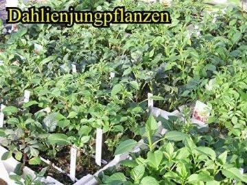 Sommerblüher Semikaktusdahlie 'Siedlerfreunde', 1 Dahlien-Knolle Größe ca. 16 cm, Blütengröße ca. 10-15cm, Blütenfarbe dieser Dahlia ist weinrot, weiße Spitzen - 4
