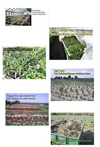 Sommerblüher Semikaktusdahlie 'Siedlerfreunde', 1 Dahlien-Knolle Größe ca. 16 cm, Blütengröße ca. 10-15cm, Blütenfarbe dieser Dahlia ist weinrot, weiße Spitzen - 5