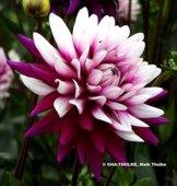 Dekorative Dahlie Rebecca´s World - 1