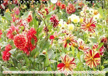Dahliensommer (Wandkalender 2020 DIN A4 quer): Dahlien, die begeistern (Monatskalender, 14 Seiten ) (CALVENDO Natur) - 3