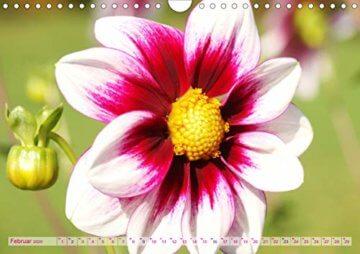 Dahliensommer (Wandkalender 2020 DIN A4 quer): Dahlien, die begeistern (Monatskalender, 14 Seiten ) (CALVENDO Natur) - 4