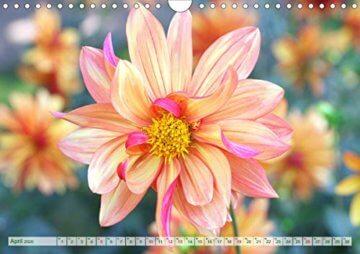Dahliensommer (Wandkalender 2020 DIN A4 quer): Dahlien, die begeistern (Monatskalender, 14 Seiten ) (CALVENDO Natur) - 6