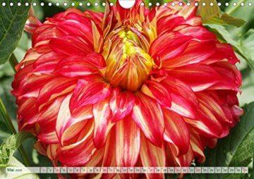 Dahliensommer (Wandkalender 2020 DIN A4 quer): Dahlien, die begeistern (Monatskalender, 14 Seiten ) (CALVENDO Natur) - 7
