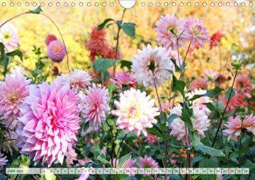 Dahliensommer (Wandkalender 2020 DIN A4 quer): Dahlien, die begeistern (Monatskalender, 14 Seiten ) (CALVENDO Natur) - 8
