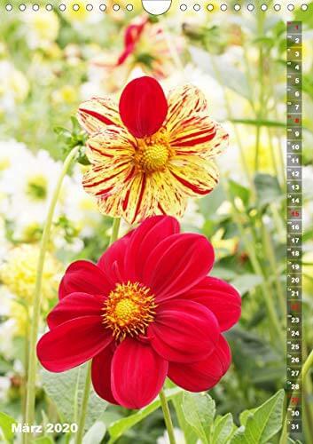 Feurige Dahlien (Wandkalender 2020 DIN A4 hoch): Strahlend schöne Spätsommerblumen (Monatskalender, 14 Seiten ) (CALVENDO Natur) - 5