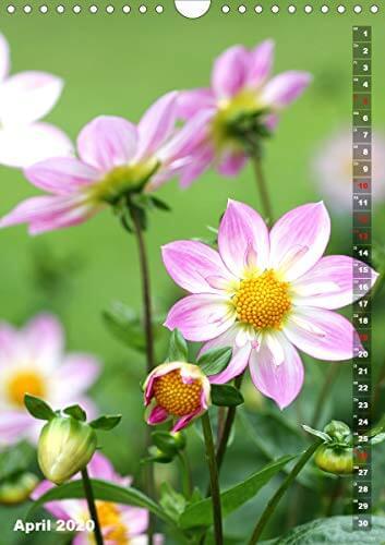 Feurige Dahlien (Wandkalender 2020 DIN A4 hoch): Strahlend schöne Spätsommerblumen (Monatskalender, 14 Seiten ) (CALVENDO Natur) - 6