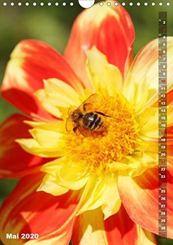 Feurige Dahlien (Wandkalender 2020 DIN A4 hoch): Strahlend schöne Spätsommerblumen (Monatskalender, 14 Seiten ) (CALVENDO Natur) - 7