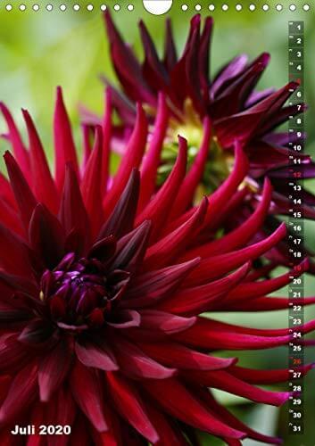 Feurige Dahlien (Wandkalender 2020 DIN A4 hoch): Strahlend schöne Spätsommerblumen (Monatskalender, 14 Seiten ) (CALVENDO Natur) - 9