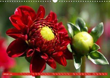 Wunderbare Dahlienwelt (Wandkalender 2020 DIN A3 quer): Die Königin des Spätsommers in farbenfroh leuchtenden Fotografien (Monatskalender, 14 Seiten ) (CALVENDO Natur) - 3