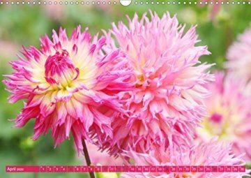 Wunderbare Dahlienwelt (Wandkalender 2020 DIN A3 quer): Die Königin des Spätsommers in farbenfroh leuchtenden Fotografien (Monatskalender, 14 Seiten ) (CALVENDO Natur) - 6