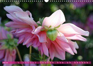 Wunderbare Dahlienwelt (Wandkalender 2020 DIN A3 quer): Die Königin des Spätsommers in farbenfroh leuchtenden Fotografien (Monatskalender, 14 Seiten ) (CALVENDO Natur) - 7