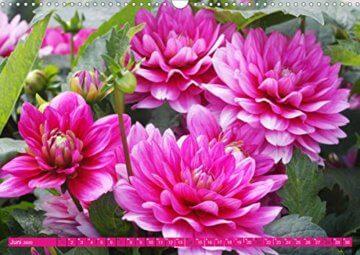 Wunderbare Dahlienwelt (Wandkalender 2020 DIN A3 quer): Die Königin des Spätsommers in farbenfroh leuchtenden Fotografien (Monatskalender, 14 Seiten ) (CALVENDO Natur) - 8