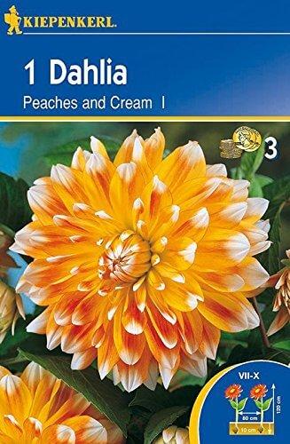 Dekorative Dahlie Peaches of Cream | Dekorative-Dahlienzwiebeln von Kiepenkerl - 1