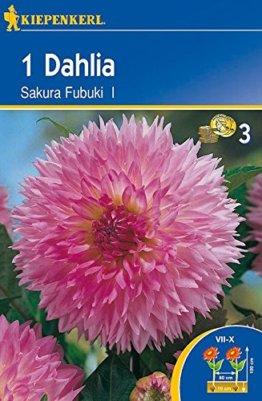 Dekorative Dahlie Sakura Fubuki | Dekorative-Dahlienzwiebeln von Kiepenkerl - 1