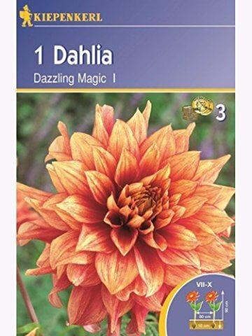 Dekorative Dahlien Dazzling Magic orange-rot - 1