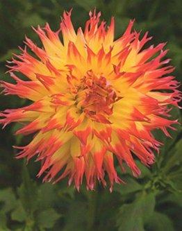 Hirschgeweih Dahlie großblumig Pinelands Pam Knolle Blumenzwiebel (1) - 1