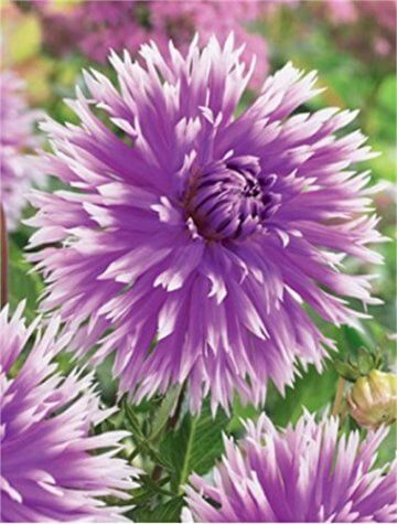 Hirschgeweih Dahlie großblumig Table Dancer Knolle Blumenzwiebel (1) - 1