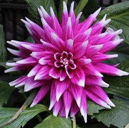 Kaktus Dahlien Großblütig England's Glory Knolle Blumenzwiebel (1) - 1