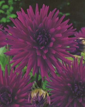Kaktus Dahlien Purple Gem Knolle Blumenzwiebel (1) - 1