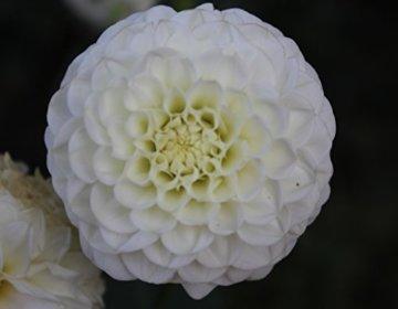 Pompon Dahlie White Aster Knolle Blumenzwiebeln (1) - 1