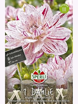 Seerosen-Dahlien Bright Diamond - 1